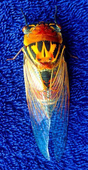 Thopha saccata - Image: Thophasaccatabluecar pet