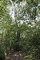 Three Creeks - Swamp White Oak Blocks the Light.jpg