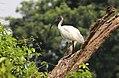 Threskiornis melanocephalus a large, WHITE BEAUTY WATER BIRD.jpg