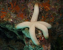 Thromidia catalai Heavy Starfish PNG by Nick Hobgood.jpg