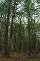 Thuja occidentalis forest 1 Wisconsin.jpg