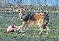 Tierpark Sababurg Wolf.jpg