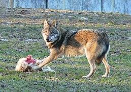 Номінативний підвид вовка