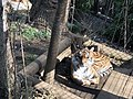 Tiger in Ueno Zoo 20180206.jpg
