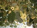 Tilia cordata flowers 001.jpg