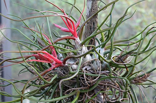 Tillandsia bulbosa 20090111