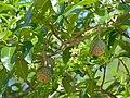 Toad-tree (Tabernaemontana elegans) (11822612336).jpg