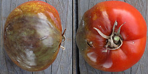 Phytophthora infestans - Ripe tomato infected with blight.