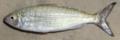 25 / Australian herring