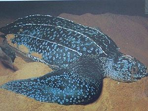 Species affected by poaching - Image: Tortue Luth Leatherback