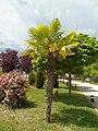 Trachycarpus fortunei.001 - Ponferrada.jpg