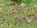 Tree Pipit (Anthus trivialis) (27291031993).jpg