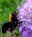 Tree bumblebee (Bombus hypnorum) on scabious, Sandy, Bedfordshire (7742421822).jpg