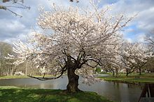 Tree flowering near lake in Nomahegan park NJ.jpg