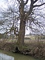 Tree on the River Eden - geograph.org.uk - 1700256.jpg