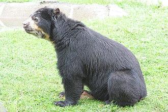 Binghamton Zoo at Ross Park - Spectacled Bear