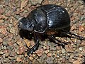 Trident Dung Beetle (Heliocopris neptunus) female attracted to light (12717928483).jpg