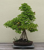 Trident Maple, unknown-2007.jpg