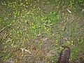 Trifolium campestre habit4 (10621053836).jpg