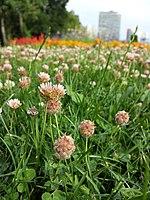 Trifolium fragiferum (subsp. fragiferum) sl12.jpg