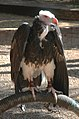 Trigonoceps occipitalis -Las Aguilas Jungle Park, Tenerife, Spain-8a.jpg