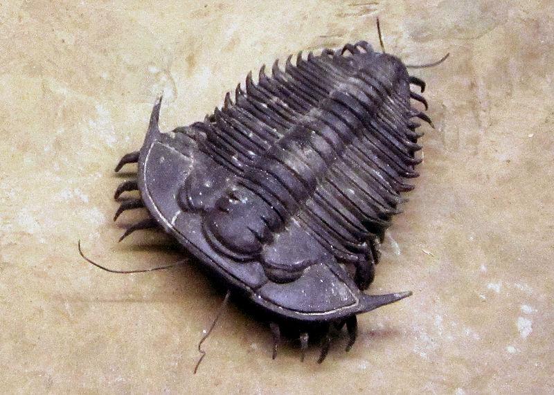 File:Trilobite tracks at World Museum Liverpool d1.jpg