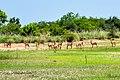 Troupeau de cob de buffon dans le parc national de la Pendjari.jpg
