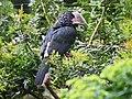 Trumpeter Hornbill female RWD.jpg