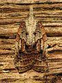 Tufted Apple Bud Moth - Flickr - treegrow.jpg