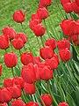 Tulips - Botanic Garden - Cluj Napoca (2438520135).jpg