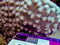 Turbinaria peltata, coralitos.jpeg