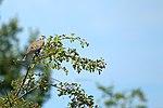 Turtle Dove - RSPB Fowlmere (28228370530).jpg