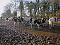Two-Mile Borris - Cows.jpg
