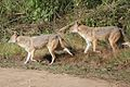 Two Jackals walking in Jim Corbett National Park, Uttarakhand, India.jpg