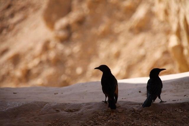 Two Tristram's Starlings at Ein Gedi, Israel (2)