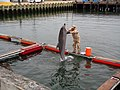 US Navy 100609-N-6610A-005 Navy Diver 2nd Class Andreas Palacios spends time with one of four dolphins brought to Joint Expeditionary Base Little Creek-Ft. Story to participate in Frontier Sentinel 2010.jpg