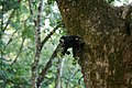 Uday Kiran Lion-tailed macaque eating fig.jpg
