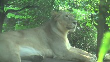File:Uenzo2009-asiaticlioness.ogv