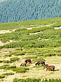 Ukrainian Carpathians, alpain tries and horses.JPG