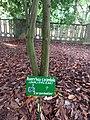 Un carambolier au Jardin des Plantes et de la Nature.jpg