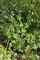 Unidentified plant Eichsfeld 001.jpg