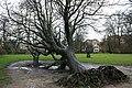 Uprooted tree - Vondelpark.jpg