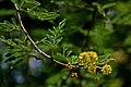 Vachellia nilotica or Babul Tree Larval Host Plant of Azanus ubaldus – Bright Babul Blue , Azanus uranus – Dull Babul Blue WLB DSC 7118.jpg