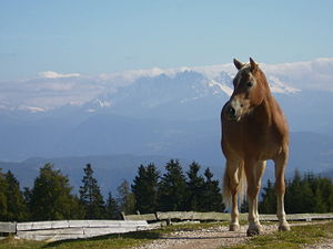 Haflinger - A Haflinger in South Tyrol