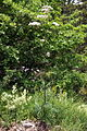 Valeriana officinalis PID1678-4.jpg