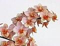 Vandaenopsis Kdares Orange Girl -台南國際蘭展 Taiwan International Orchid Show- (39032104060).jpg