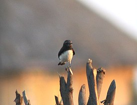 Variable Wheatear Oenanthe picata Rann of Kutch Gujarat IMG 1795 (2).JPG
