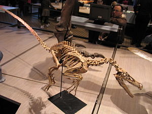 Evolution of birds - The mounted skeleton of a Velociraptor, showing the very bird-like quality of the smaller theropod dinosaurs