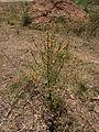 Verbascum sinuatum 1 Sos Alinos Cala Liberotto 16072014 40.4333443, 9.7743612.jpg