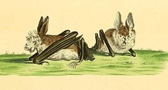 Hairy slit-faced bat - Image: Vespertilio hispidus